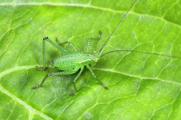 Single Leaf Wall Art - Photograph - Speckled Bush Cricket Nymph by Nigel Downer