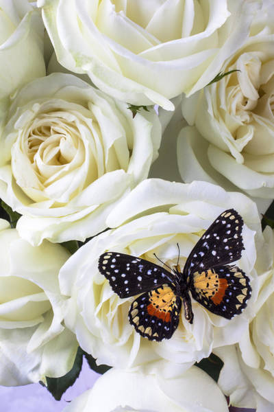 White Rose Photograph - Speckled Butterfly On White Rose by Garry Gay