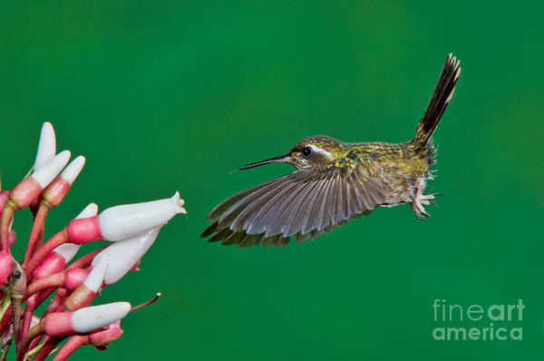 Photograph - Speckled Hummingbird by Anthony Mercieca