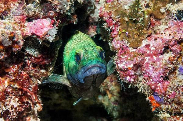 Wall Art - Photograph - Specklefin Grouper Hiding In Coral by Georgette Douwma/science Photo Library