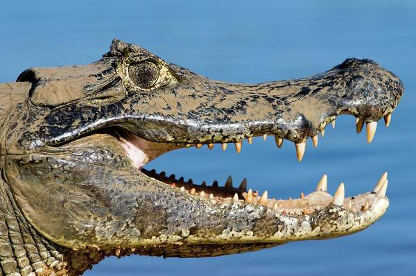 American Crocodile Photograph - Spectacled Caiman by Tony Camacho/science Photo Library