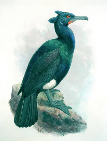 Phalacrocoracidae Photograph - Spectacled Cormorant by Natural History Museum, London/science Photo Library