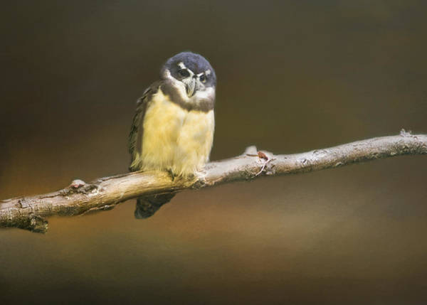 Photograph - Spectacled Owl  by Betty  Pauwels
