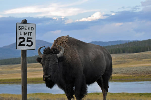 Photograph - Speedy Bison In Yellowstone National Park by Bruce Gourley