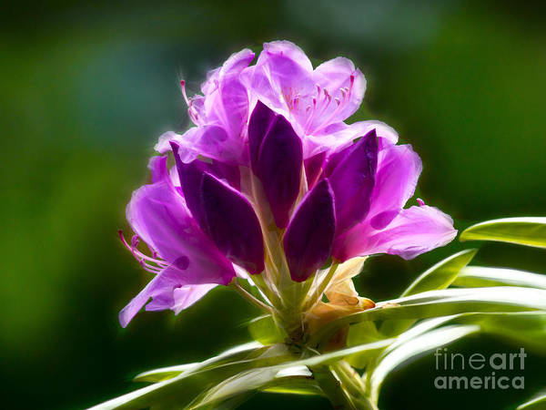 Rhododendrons Photograph - Spellbound by Lutz Baar