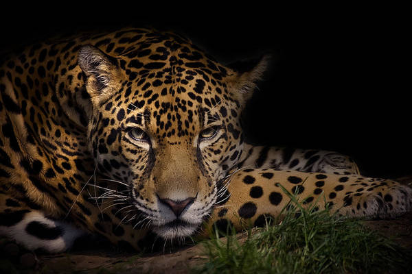 Big Cat Wall Art - Photograph - Spender by Cheri McEachin