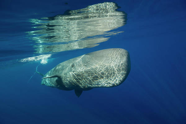 Acores Photograph - Sperm Whale, Physeter Catodon, Azores by Reinhard Dirscherl