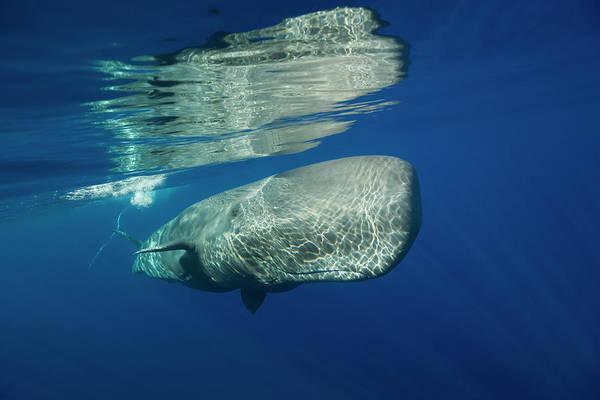 Cachalot Wall Art - Photograph - Sperm Whale, Physeter Catodon, Azores by Reinhard Dirscherl