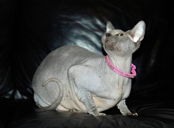 Canadian Fauna Photograph - Sphynx Cat by Photostock-israel/science Photo Library
