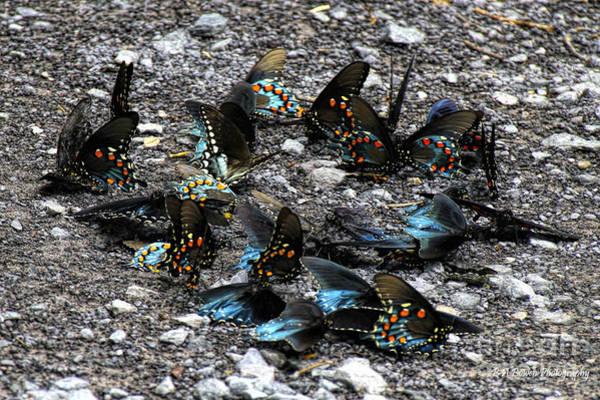 Photograph - Spicebush Swallowtails Puddling by Barbara Bowen