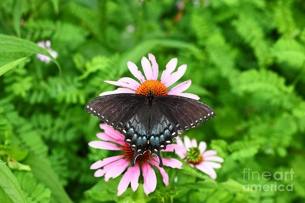 Photograph - Spicebush Swallowtail Butterfly by James Brunker