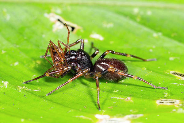 Ecuador Photograph - Spider Feeding On An Ant by Dr Morley Read