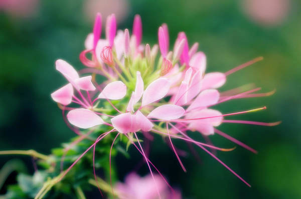 Wall Art - Photograph - Spider Flower (cleome Hassleriana) by Maria Mosolova/science Photo Library