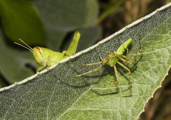 Photograph - Spider-grasshopper Standoff by Steven Schwartzman