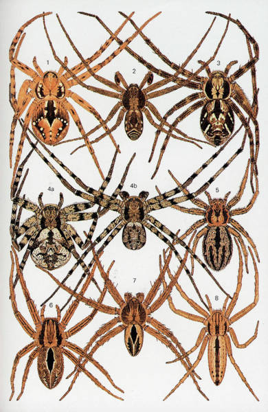 Arachnida Wall Art - Photograph - Spider Illustrations by Natural History Museum, London/science Photo Library