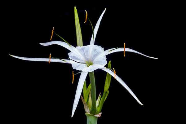 Spider Lily Wall Art - Photograph - Spider Lily Beauty Db by Rich Franco