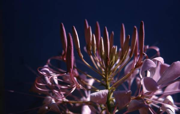 Spider Lily Wall Art - Photograph - Spider Lily Flower by Retro Images Archive