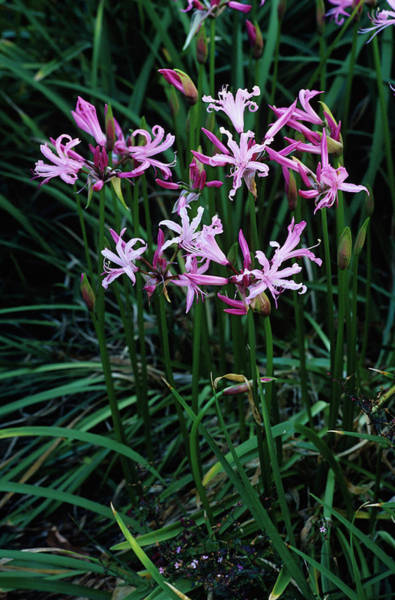 Spider Lily Wall Art - Photograph - Spider Lily Flowers by Duncan Smith/science Photo Library