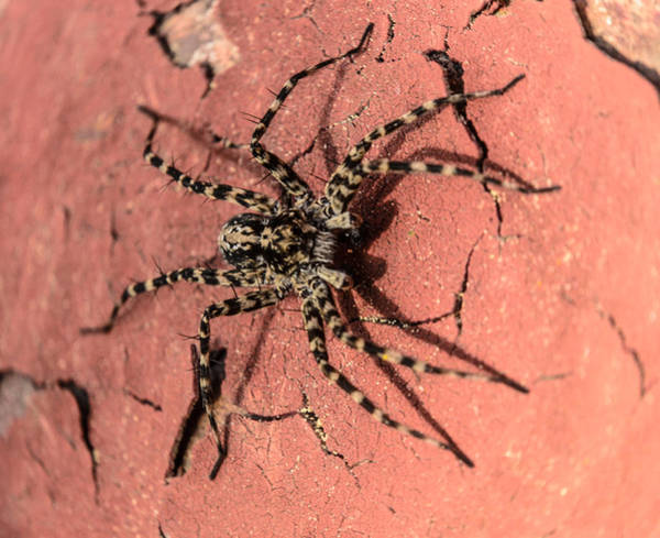 Photograph - Spider by Michael Goyberg