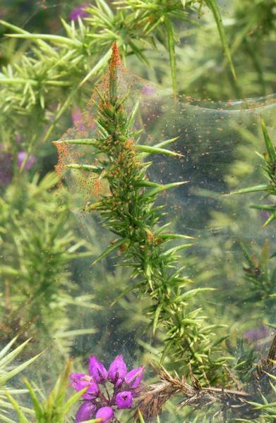 Biological Pest Control Photograph - Spider Mites On Gorse Bush by Bob Gibbons