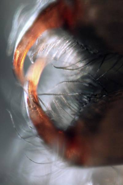 Speleology Photograph - Spider Mouthparts by Thierry Berrod, Mona Lisa Production/science Photo Library