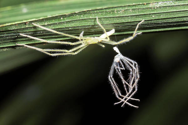 Molting Wall Art - Photograph - Spider With Shed Skin by Dr Morley Read