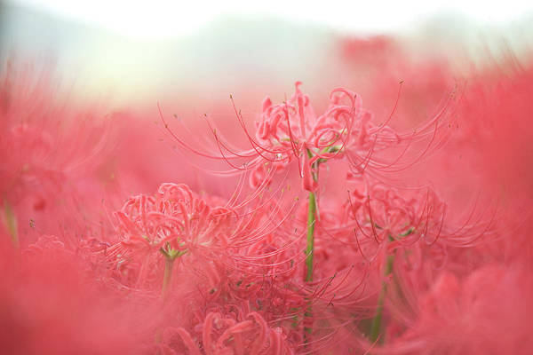 Spider Lily Wall Art - Photograph - Spiderlily by Sachiko's Photography