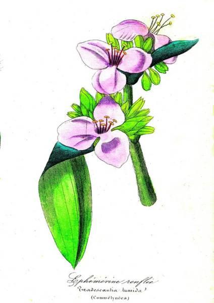 Tradescantia Photograph - Spiderwort (tradescantia Tumida) by Collection Abecasis/science Photo Library