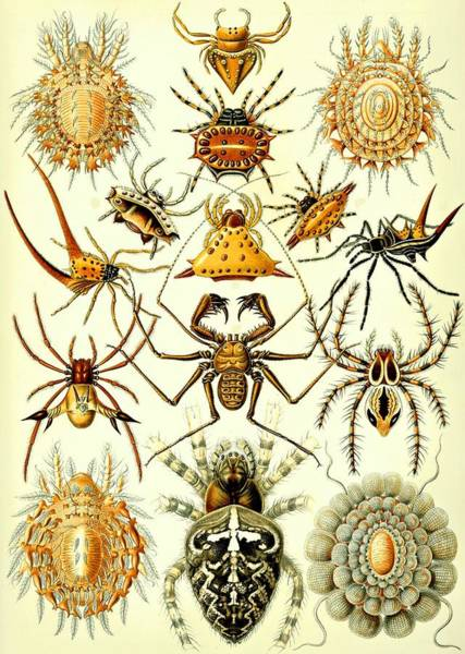 Digital Art - Spin Arachnids Insect Haeckel Arachnida Araneae by Movie Poster Prints