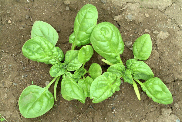 Vegetable Patch Wall Art - Photograph - Spinach Plants by Bildagentur-online/th Foto/science Photo Library