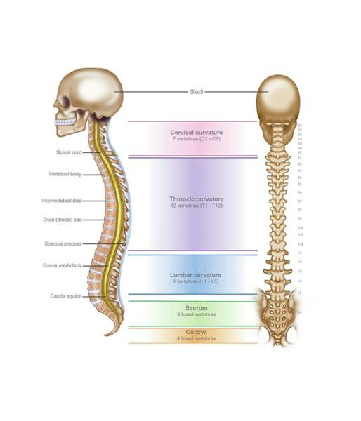 C7 Wall Art - Photograph - Spinal Anatomy by Samantha Elmhurst/science Photo Library