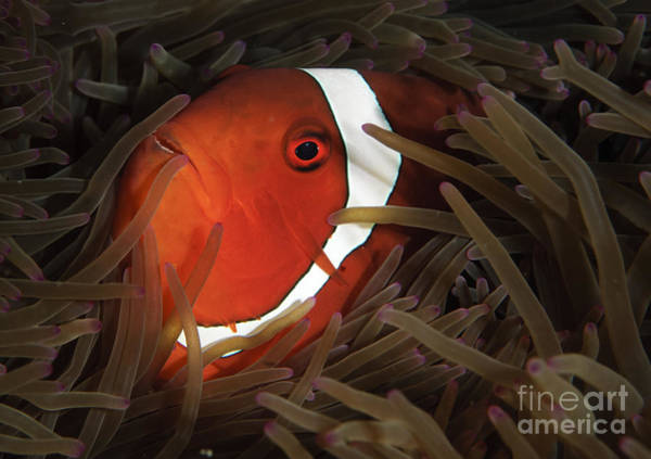 Pomacentridae Photograph - Spinecheek Anemonefish, Gorontalo by Steve Jones