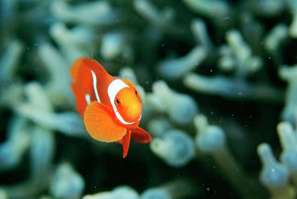 Kimbe Bay Wall Art - Photograph - Spinecheek Anemonefish by Matthew Oldfield/science Photo Library