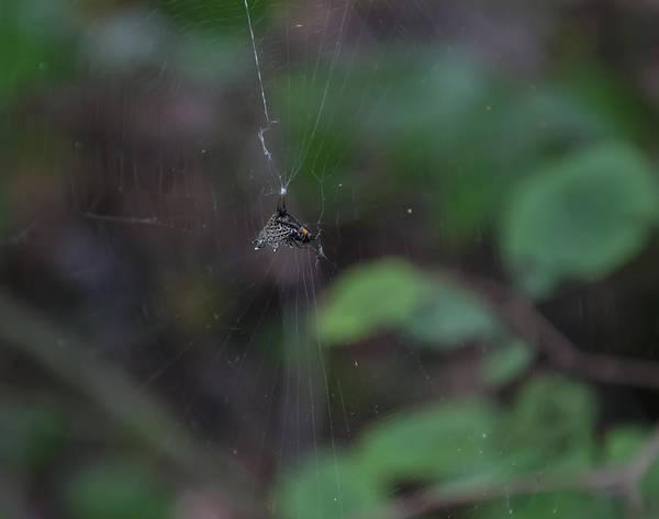 Digital Art - Spined Micrathena Spider by Chris Flees