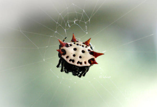 Photograph - Spiny-backed Orb Weaver by E B Schmidt
