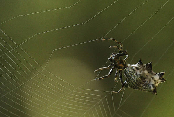 Photograph - Spiny Backed Orb Weaver by Tom Cameron
