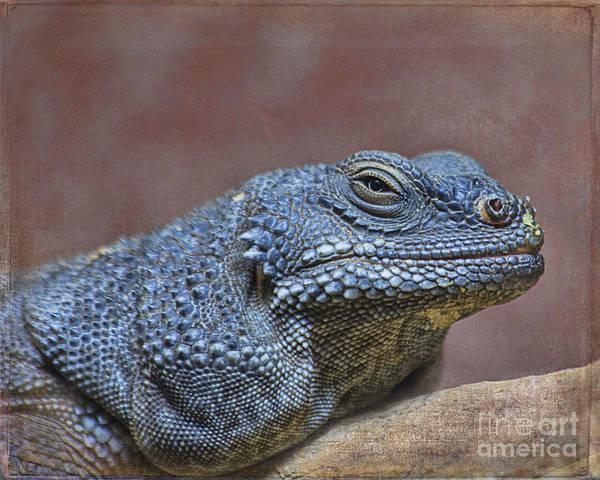 Chuckwalla Photograph - Spiny Chuckwalla - Houston Zoo by TN Fairey