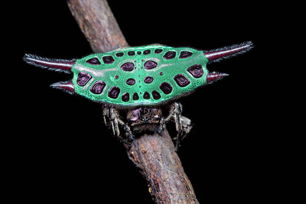 Orb Weaver Photograph - Spiny Orb-weaver Spider Under Uv Light by Melvyn Yeo