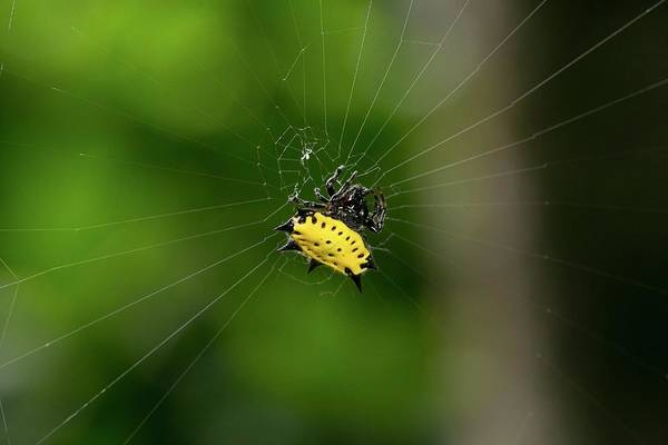 Biological Photograph - Spiny Orbweaver Spider by Nicolas Reusens