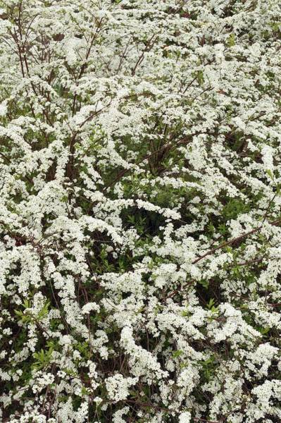Early Spring Photograph - Spiraea 'arguta' by Geoff Kidd/science Photo Library