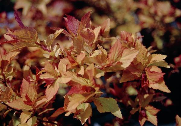 Japonica Photograph - Spiraea Japonica Firelight by Mrs W D Monks/science Photo Library