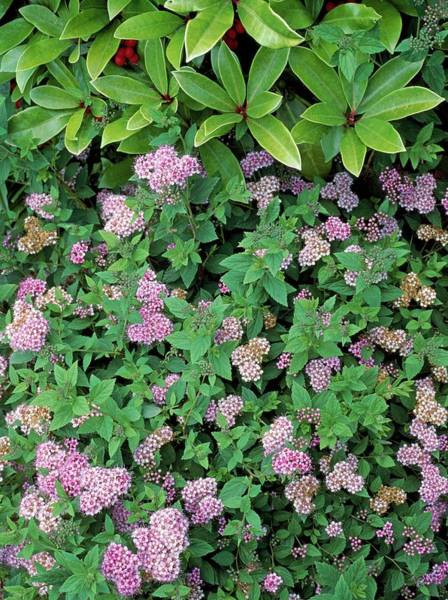 Japonica Photograph - Spiraea Japonica 'little Princess' by Geoff Kidd/science Photo Library