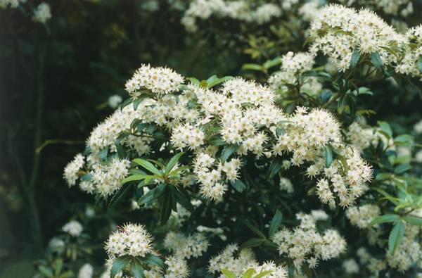 Japonica Photograph - Spiraea by Maurice Nimmo/science Photo Library
