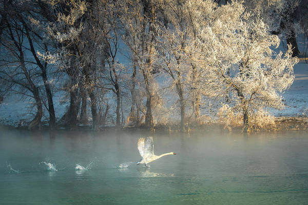 Swan Photograph - Spirit Of A Swan by C. Mei