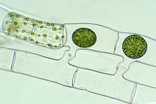 Filamentous Algae Photograph - Spirogyra Reproducing by Marek Mis