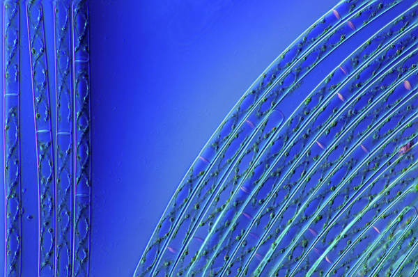 Filamentous Algae Photograph - Spirogyra Sp. Algae by Marek Mis/science Photo Library