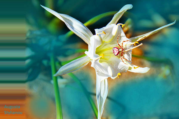 Spider Lily Wall Art - Photograph - Spider On  Sea Lily by Augusta Stylianou