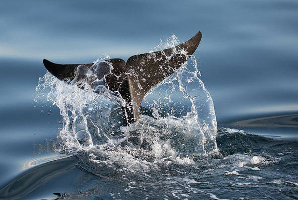 Tail Wall Art - Photograph - Splash by C.s. Tjandra