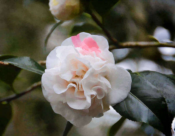 Camelia Photograph - Splash Of Pink by Penny Lisowski