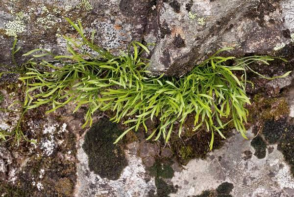 Pyrenees Photograph - Spleenwort (asplenium Septentrionale) by Bob Gibbons